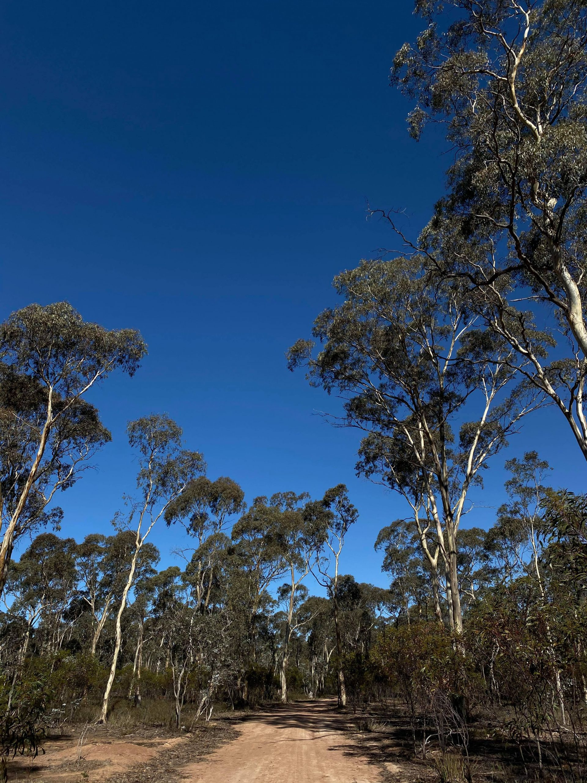 Julia takes a walk in bushland during isolation. Trees on side of road.